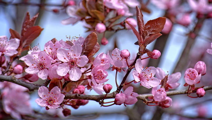 pink cherry blossoms closeup photo