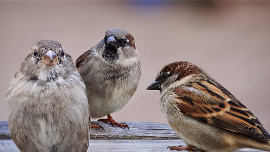 three brown small-beaked birds