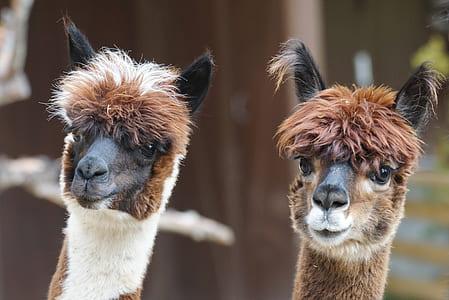 two brown llama