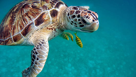 turtle swimming under the oceans over three yellow fishes