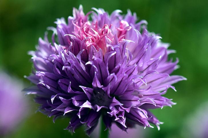 purple chive flower selective-focus photo