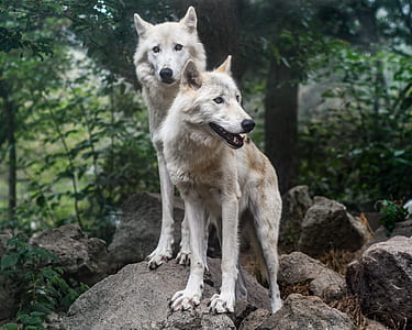 two beige wolves standing on gray rock surrounded by trees during daytime