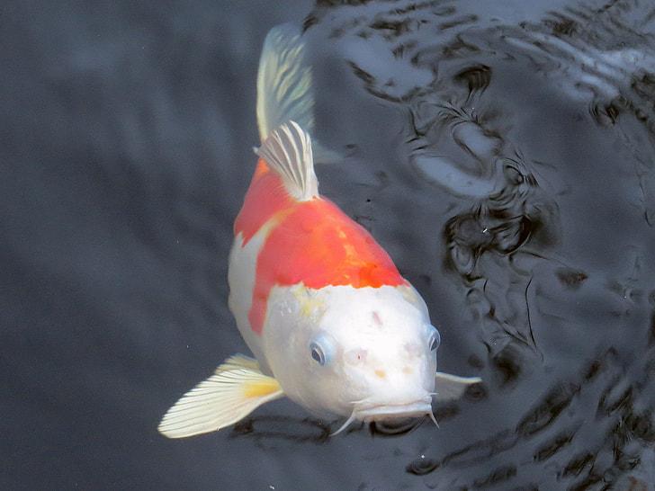 photo of white and orange koi fish
