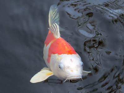 photo of white and orange koi fish