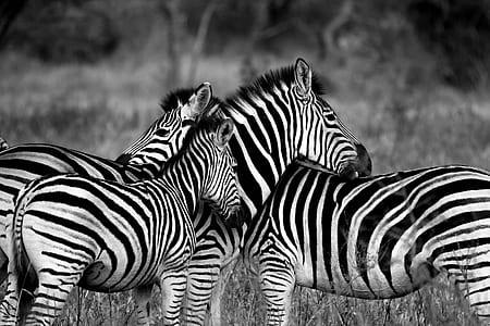 three zebra standing on ground with grass