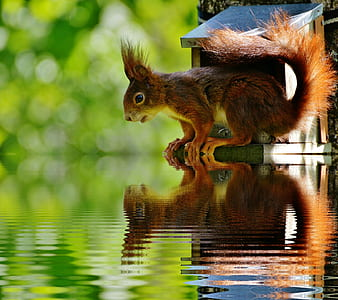 brown squirrel looking on body of water