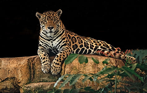 leopard on concrete stone