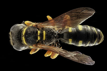 black and yellow bee