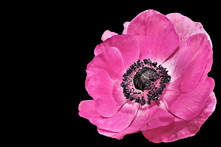 pink poppy closeup photo
