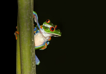 two red-eyed frogs