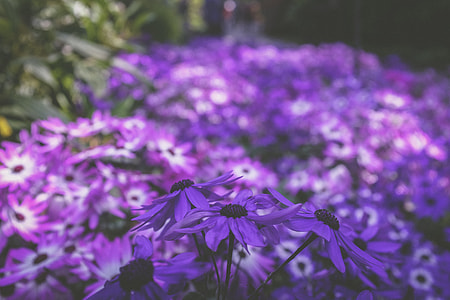 purple-and-white cineraria flowers in bloom
