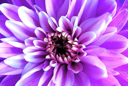 purple dahlia flower macro photography