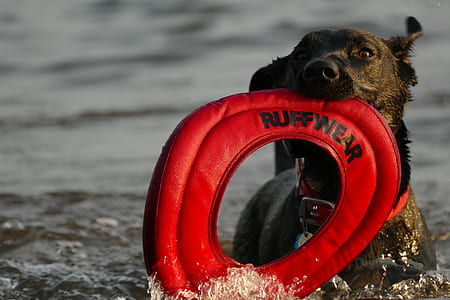 brown dog biting ruffwear ring on body of water
