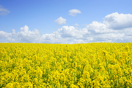 yellow rapeseed flowering field at daytime