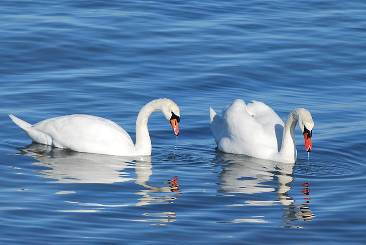 two white mute swans on lake