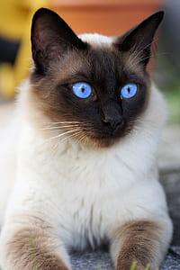 closeup photography of siamese cat