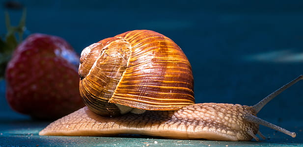 brown snail