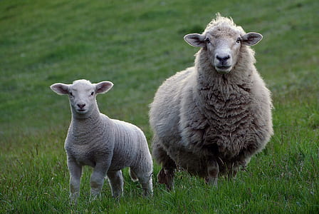 two white sheep on green grass
