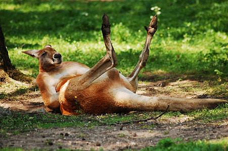 brown kangaroo lying on grass field
