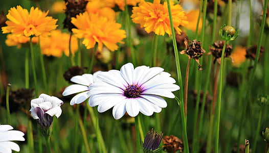 white osteospermum flower selective focus photography