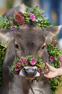 brown cattle with pink flowers headdress close up photo