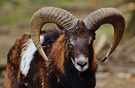 selective focus photography of brown, white, and black ram