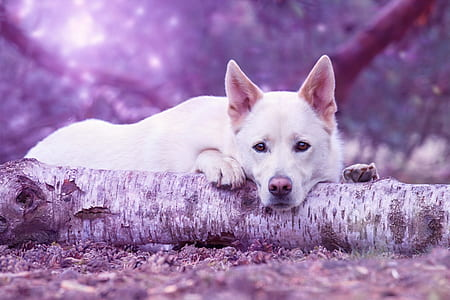 medium short-coated white dog lying on ground