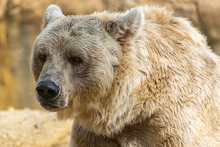 photo of gray adult bear