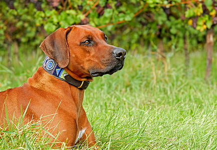 adult tan redbone coonhound