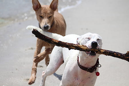 two short-coated white and brown dog running on seashore during daytime close-up photo