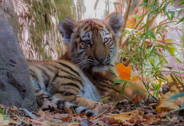 brown and black tiger photo