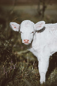 selective focus photography of white lamb