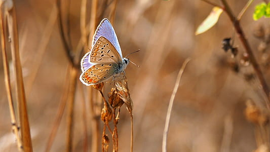 common blue butterfly perching on flower during daytime