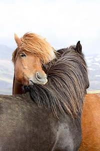 brown and black horse photo