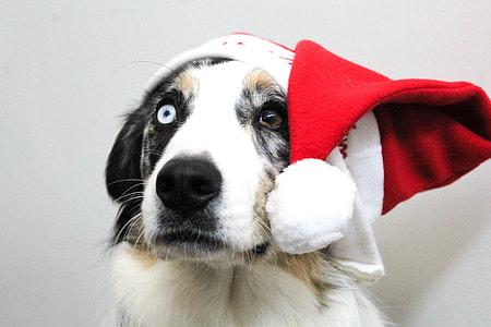 white dog with Santa hat