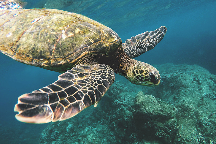 Sea Turtle captured off the coast of Hawaii