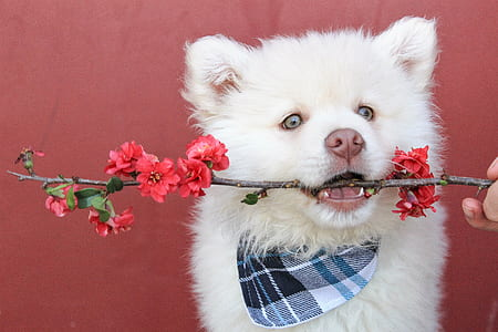 white Siberian husky puppy biting the twig with flowers