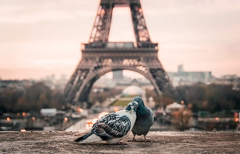 selective focus photography of two gray pigeons near Eiffel Tower