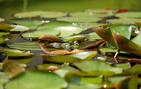 green frog on water filled with leaves