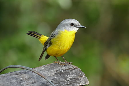 shallow photography of yellow and gray bird