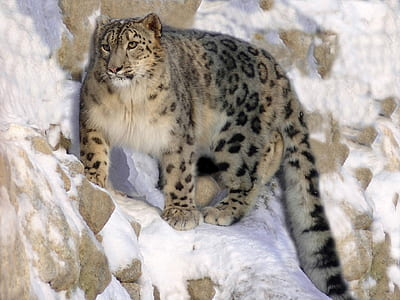 cheetah on mountain covered with ice