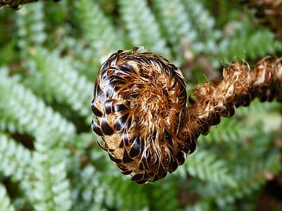 brown fiddlehead fern