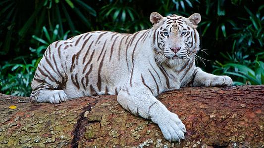 white tiger on brown tree