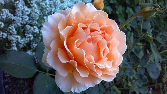 closeup photography of peach rose