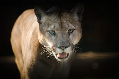 macro shot photography of cougar