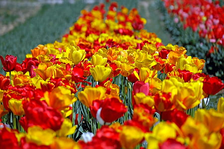 closeup photo of bed of tulip flowers