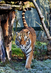photo of tiger on green grass
