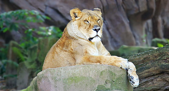 brown lioness lying on gray rack