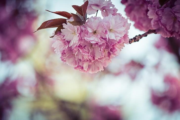 cherry blossom closeup photo