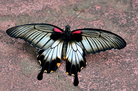 white and black swallowtail butterfly on ground